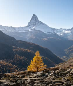 Autumn in Switzerland: Golden larch with the snowy Matterhorn in the background. Picture taken last fall during a two day trip in Zermatt. [OC][3829*4516] - Tuner25 - EarthPorn