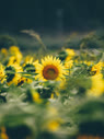 Sunflowers (by t*tomorrow)